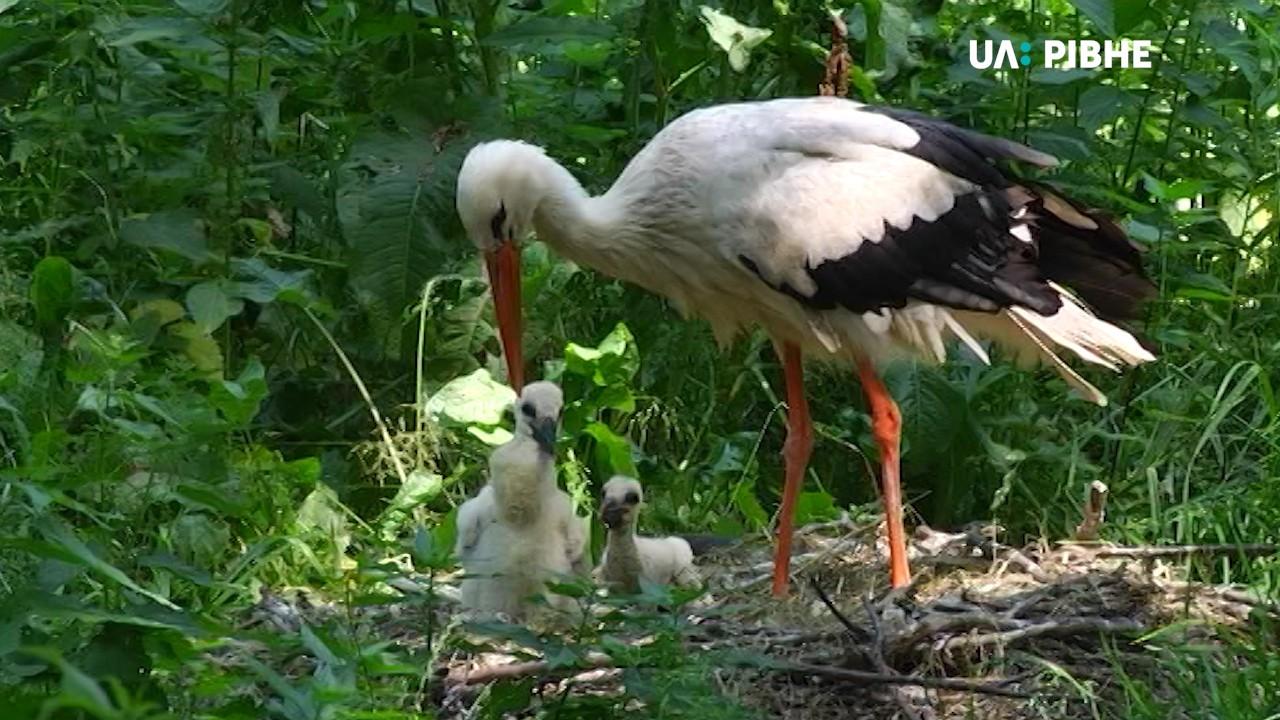 У рівненському зоопарку лелеки з пораненими крилами вивели потомство